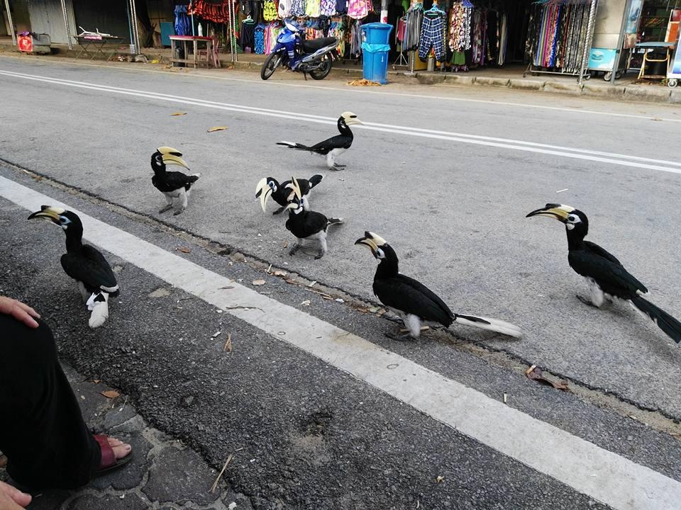 burung enggang pulau pangkor